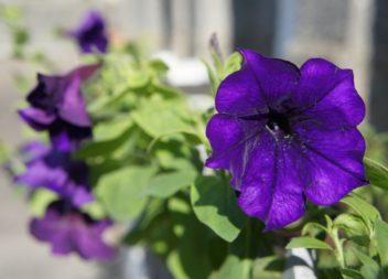 В первые дни лета в Эжве высадят цветы