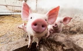 В Коми принимаются меры по локализации очага африканской чумы свиней